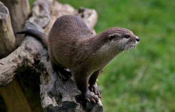 Congo Clawless Otter