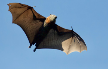 Straw Colored Fruit Bat