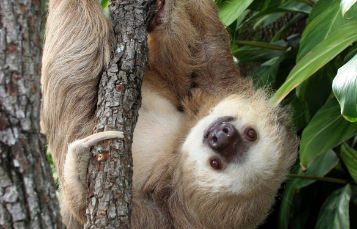 Hoffmans Two Toed Sloth