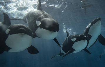 A pod of killer whales swims