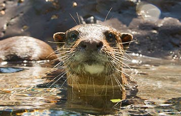 An otter plays in water
