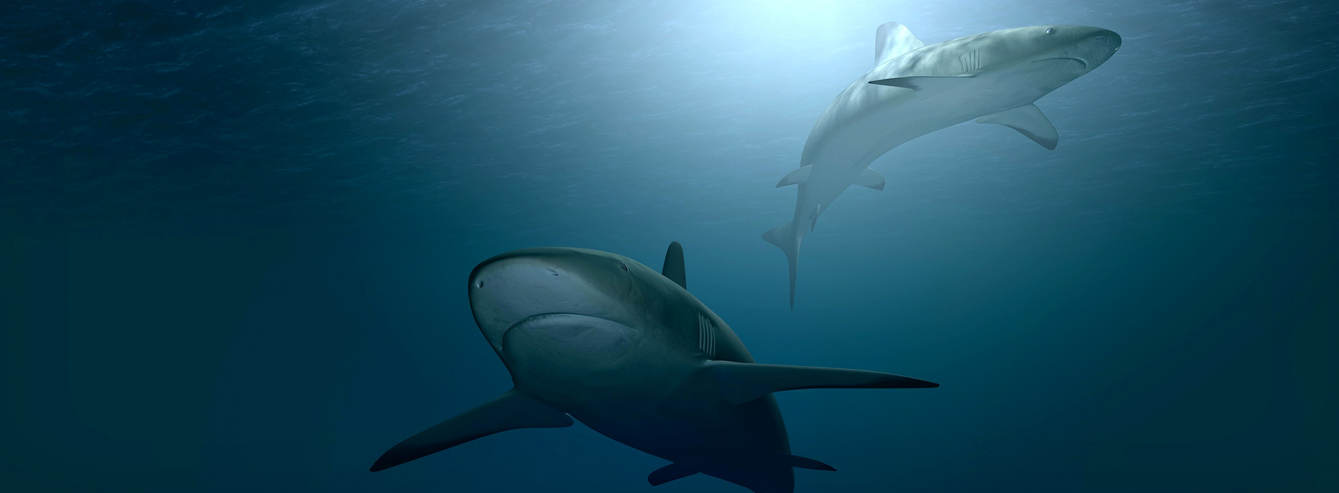 Two sharks, seen from below looking toward the water's surface