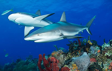 Two sharks swim low over a reef in shallow water