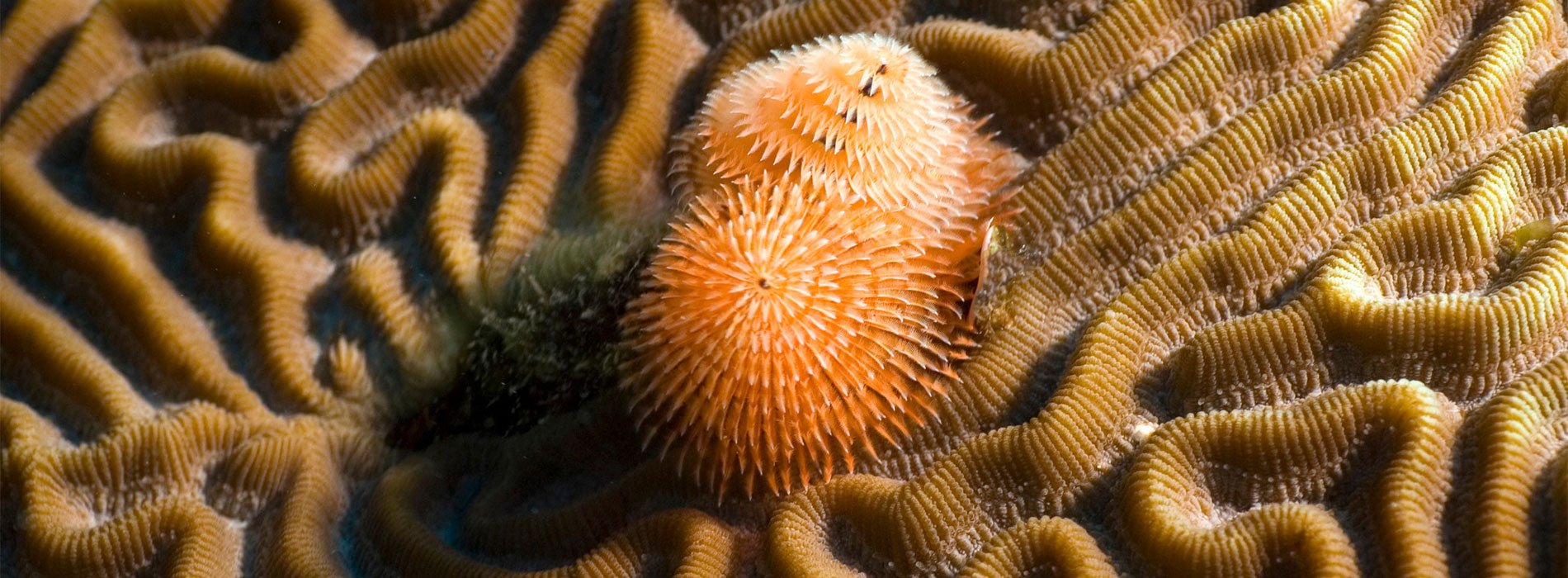 Brain coral with Christmas tree worm