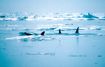 pod of killer whales in the wild