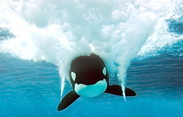 front view of killer whale swimming