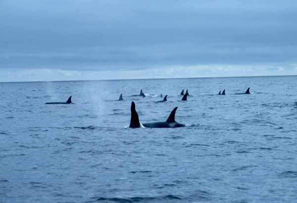 Spread out pod of wild killer whales