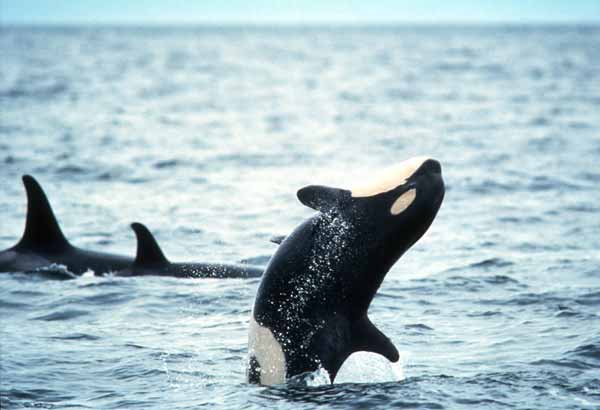 Wild killer whale calf doing a back bow
