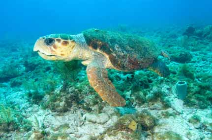 Sea turtle swimming over coral reef