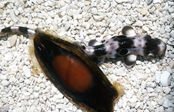 A gray and black striped shark sits on white pebbles, viewed from above