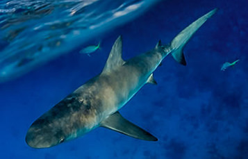 Viewed from above, a shark swims near the surface.