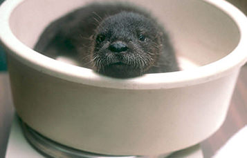 otter pup on a scale