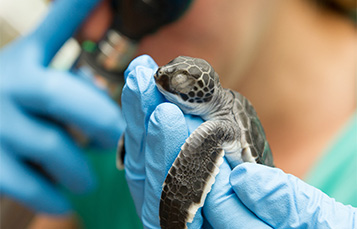 Baby Sea Turtle Rescue